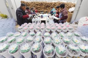 350万株水生植物出口欧美市场